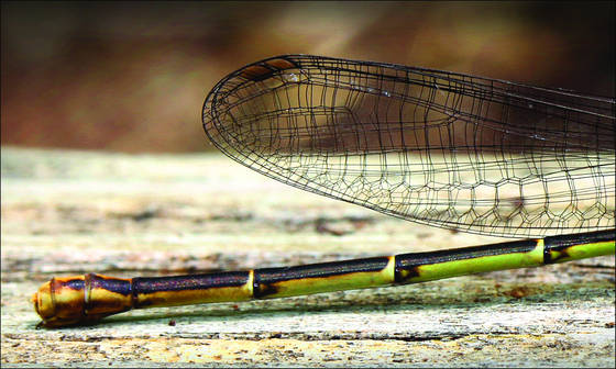Dragonfly_tail