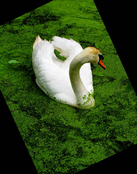Cruising_swan