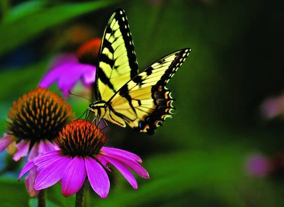 Tiger_swallowtail