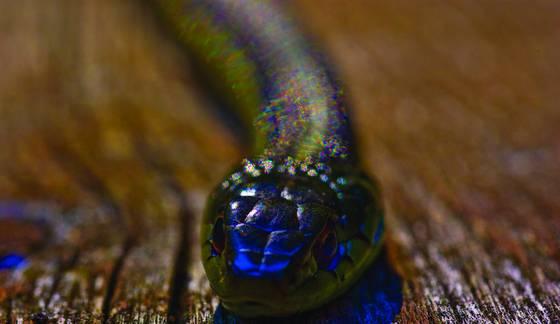 Garter_snake