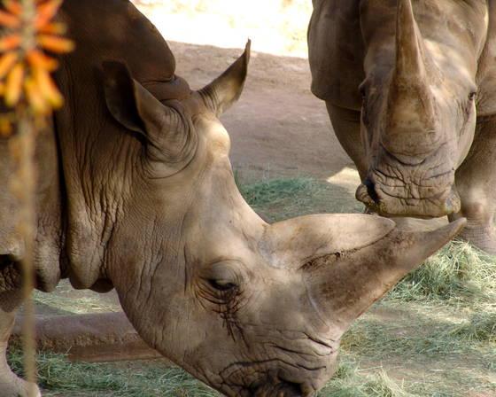 Two_rhinos