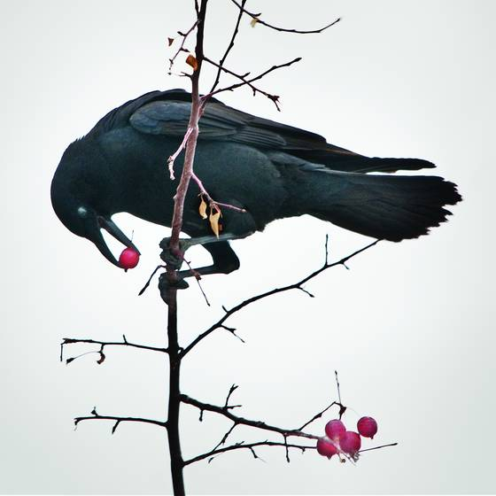Crow_with_berries