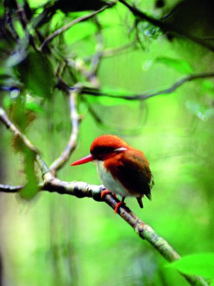 Pygmy_kingfisher