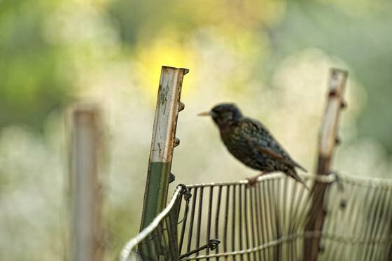 Starling_on_fence