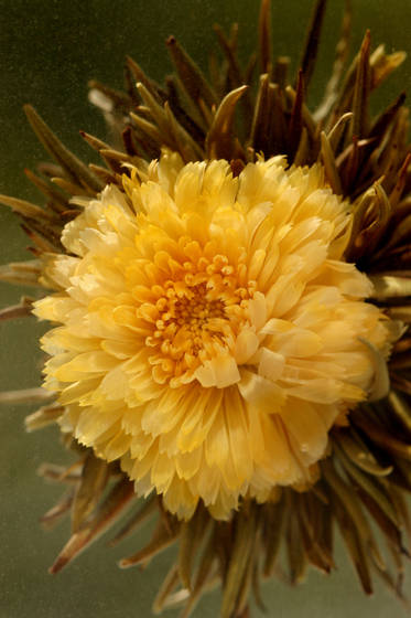 Calendula_tea_flower