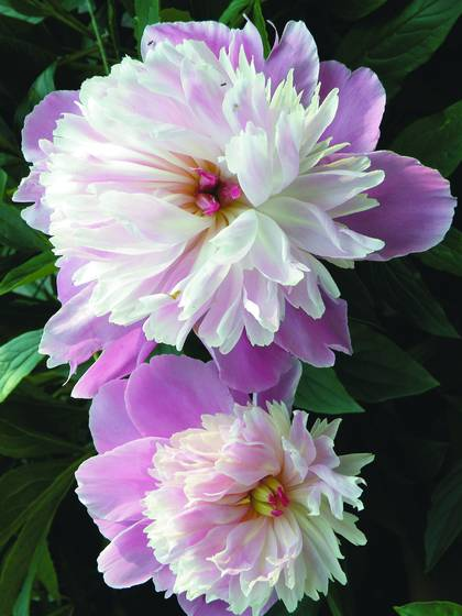 Peony_3