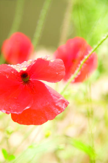 Poppies_from_heaven