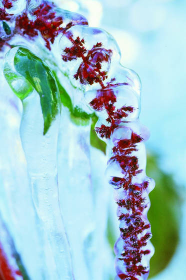 Frozen_flower_1
