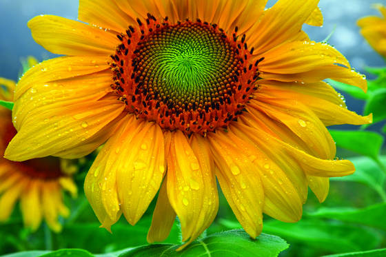 Raindrops_on_sunflower