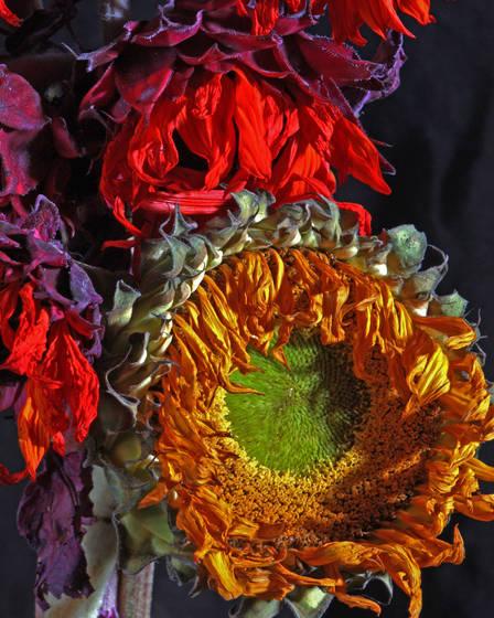 Sun_flower_2