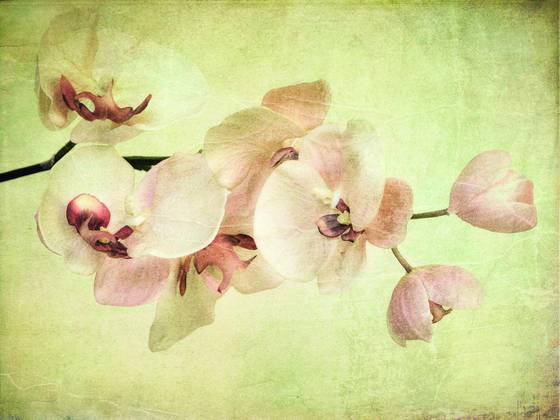Orchid_dream