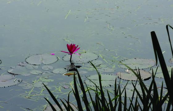 Lone_lotus