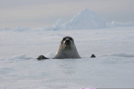 Harp seal on packice