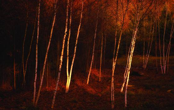 Autumn_birches