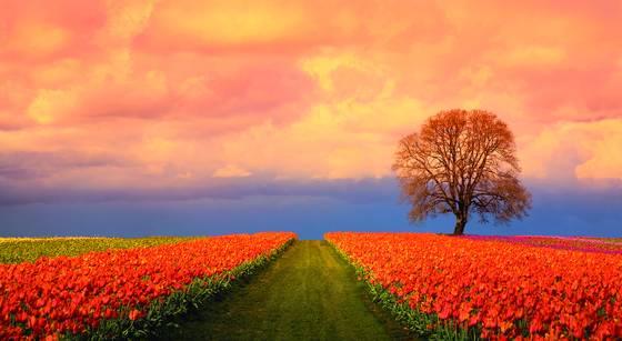 Tulip_field