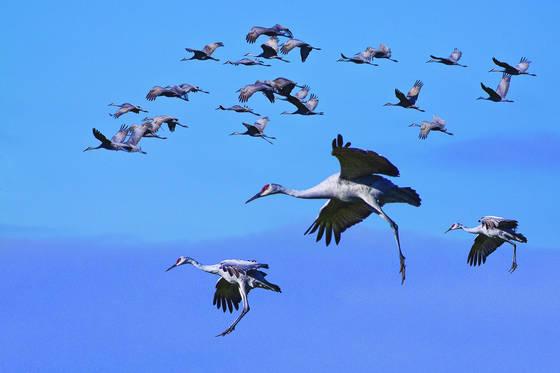 Sandhill_crane_migration