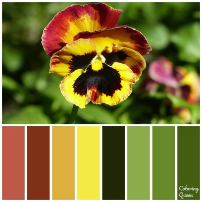 Crimson and Gold pansy color scheme