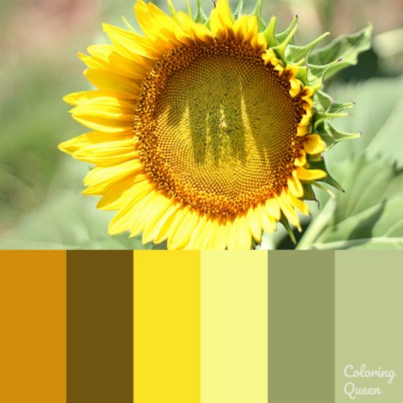 Sunflower with light yellow petals color scheme