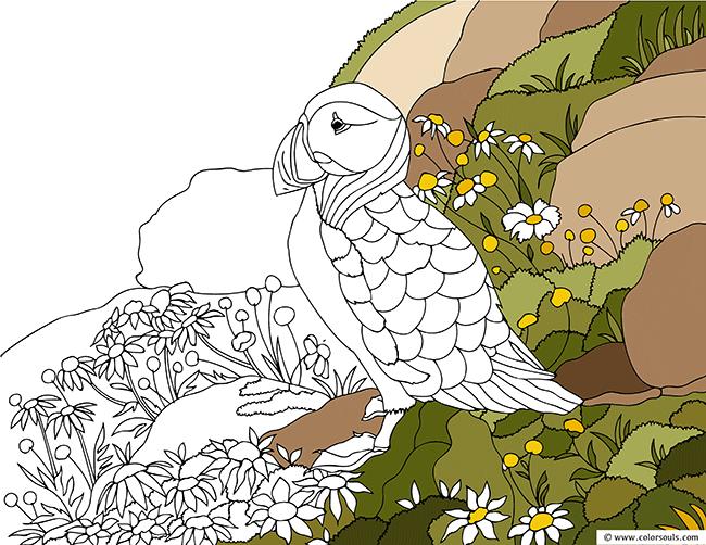 Similar Bird Coloring Pages Atlantic Puffin