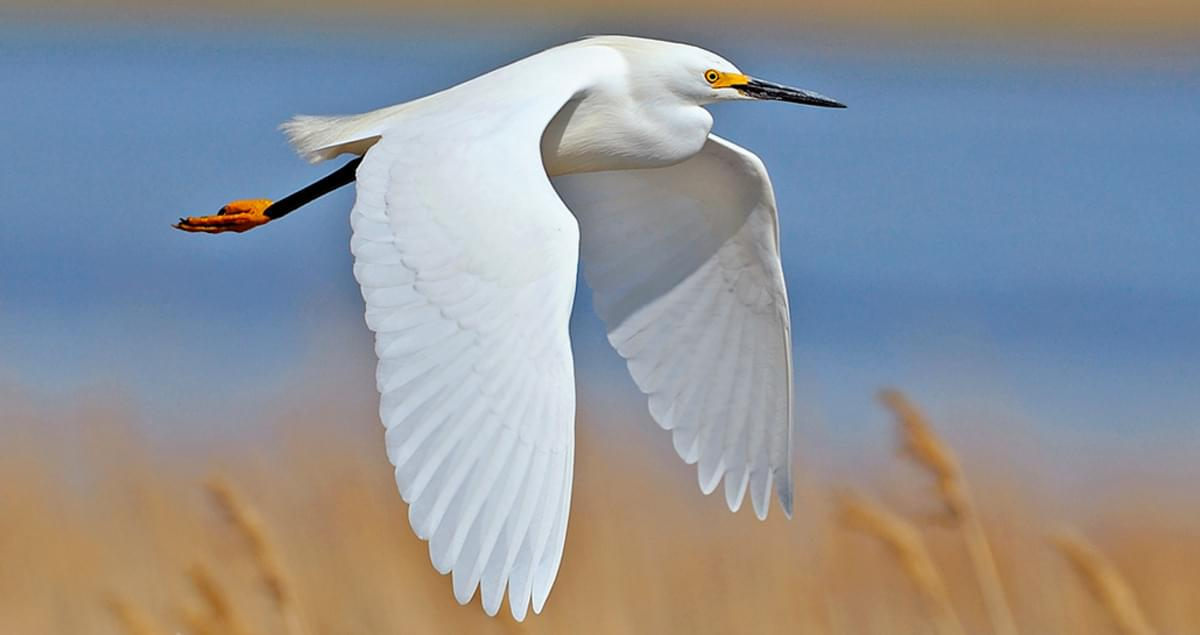Snowy Egret Range Map All About Birds Cornell Lab Of