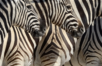 Martin Grace - Plains Zebras, Etosha Photographic Print on Aluminum Dibond, Photography