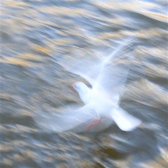 Martin Grace - Black-Headed Gull Photographic Print on Aluminum Dibond, Photography