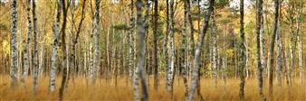 Bartosz Murzicz - Golden Forest Photograph on Fine Art Paper, Photography