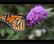 Monarch Butterfly ED