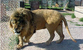 male african lion, Mufassa