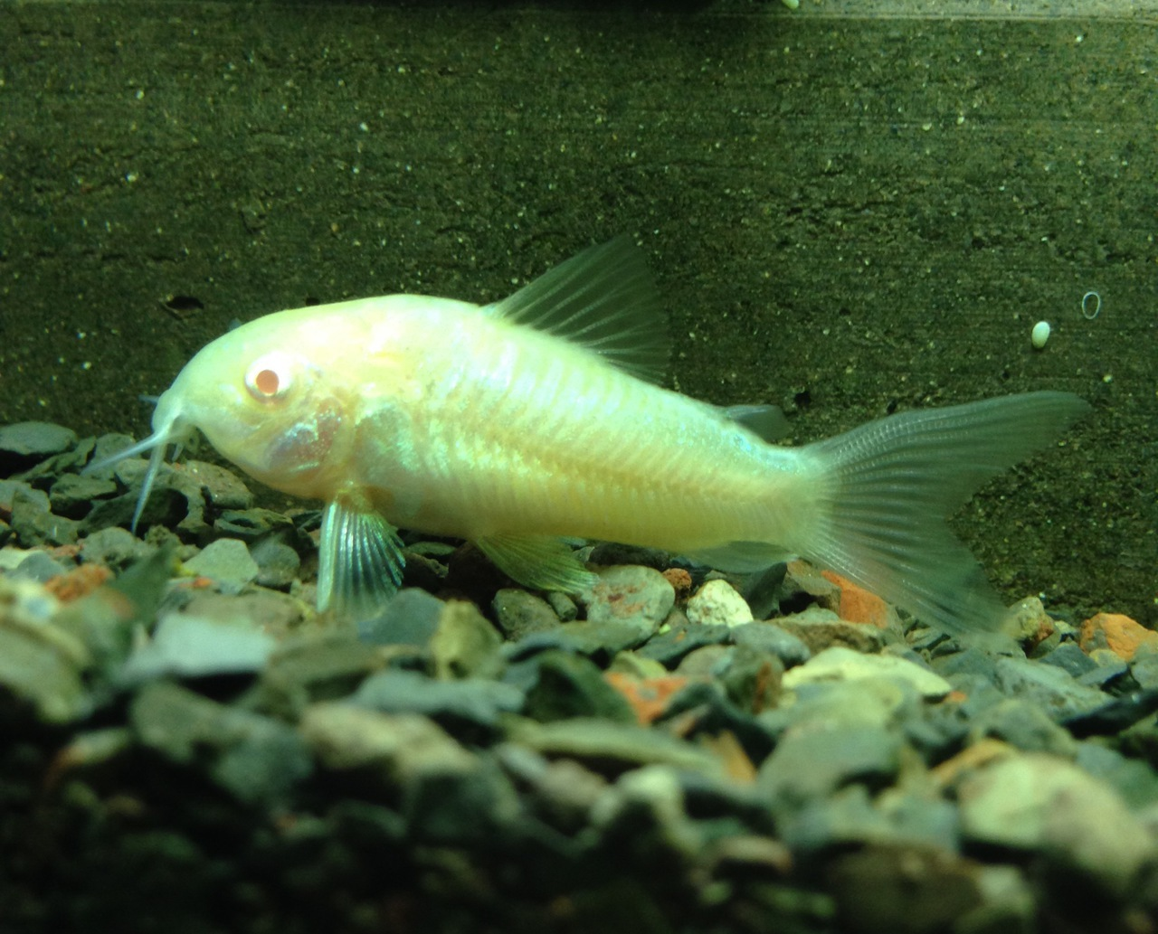 Albino corydoras cory catfish live freshwater aquarium for Big freshwater aquarium fish