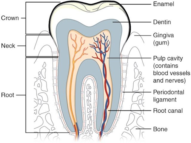 Teeth Regrowth – Development, Regeneration, Deepest Healing, Strengthening