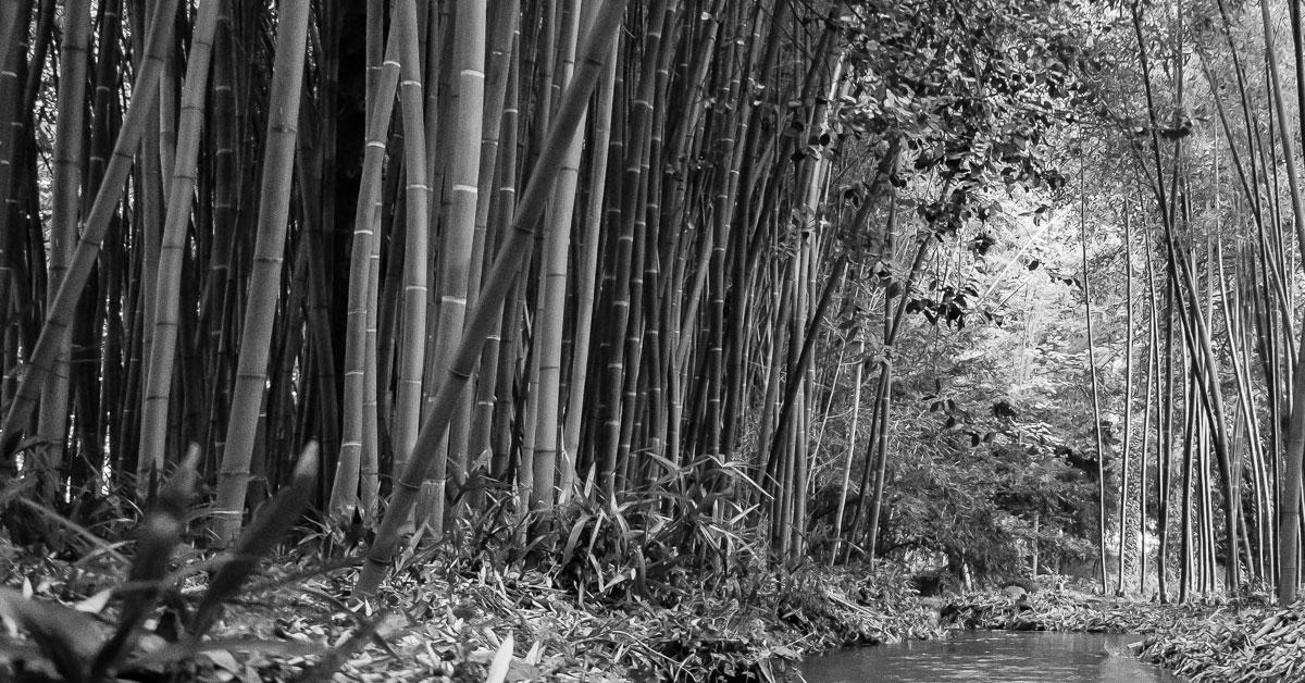 Alberi bambu