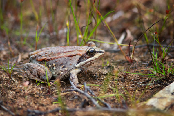 Woodfrog creighton359