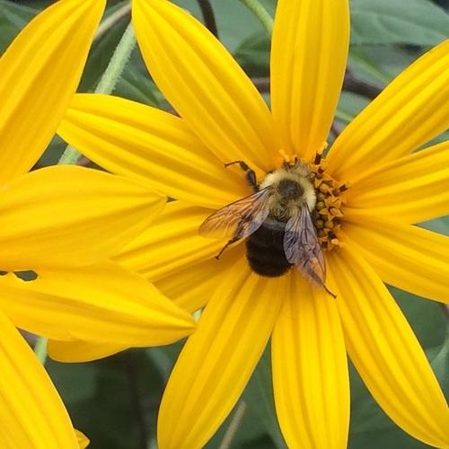 Bumblebee sm