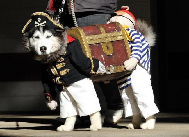 husky-pirate