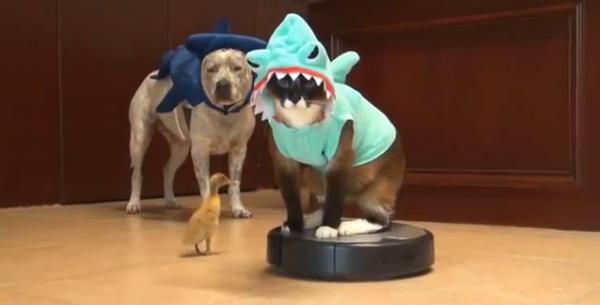 sharkcat2