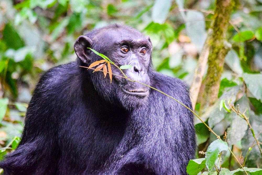 Budongo chimp edited