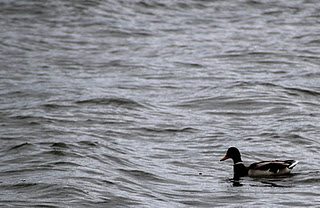 A lone duck swimming in a lake.