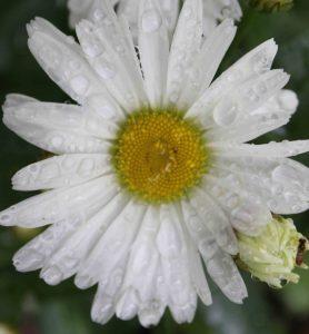 daisy web
