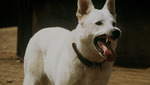 White_dog_int_feature_current_thumbnail