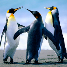 Penguins 3 0
