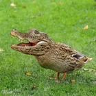 Crocoduck2