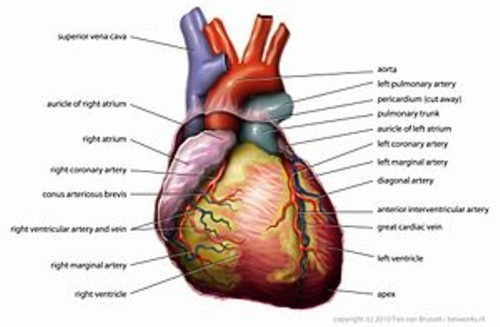 Anatomy heart english tiesworks