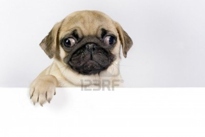 7084468 cute pug puppy on white background with space for text