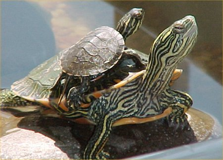 Tartaruga acqua1