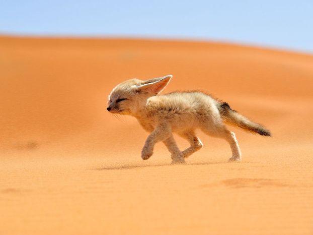 Fennec fox morocco 68263 990x742