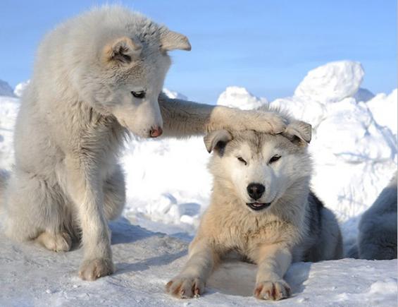 Cuccioli di lupo bianco