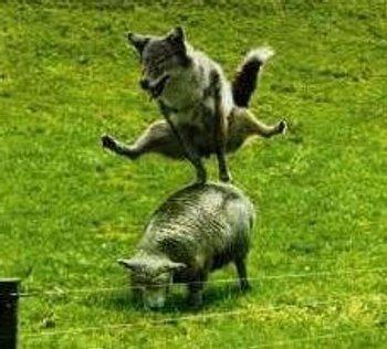 Lupo salta pecora