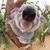 Big nose koala australia 23936329 1466 1363
