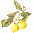 Limone 20disegno